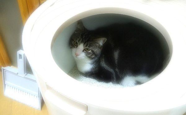 トイレに隠れる猫