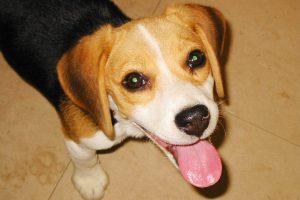 犬の白内障の原因、症状、治療方法となりやすい犬種