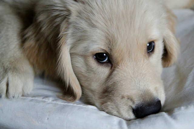 犬の白内障は予防できるの?