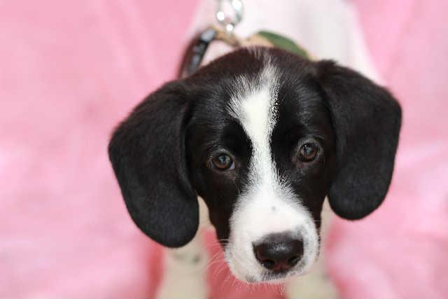 遺伝的な要因により白内障になりやすい犬種