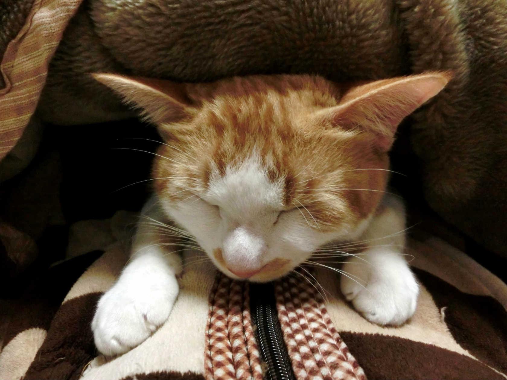 猫が痙攣を起こしたらどうする?対処法と考えられる病気