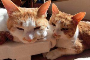 突然死を起こす猫のフィラリア症~予防とメカニズム~
