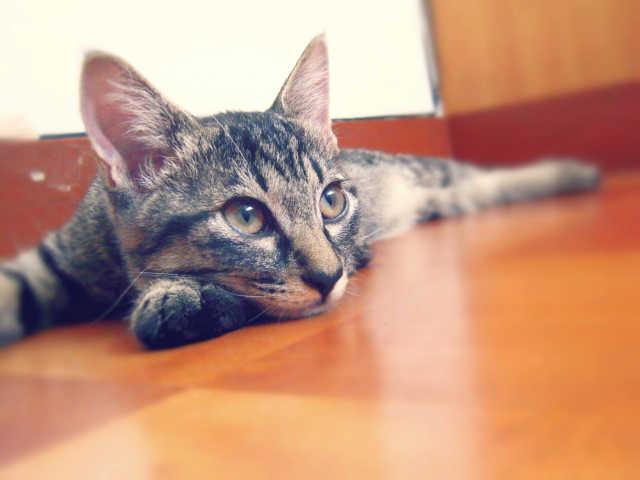 猫もフィラリアにかかるの?