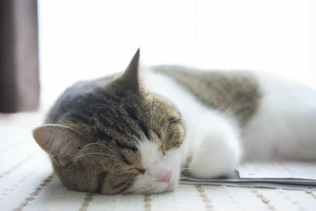 猫のフィラリア症の症状