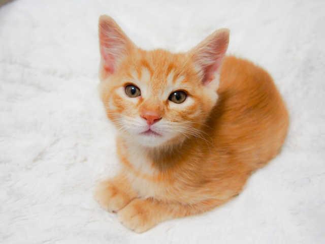 猫のフィラリア症の治療方法