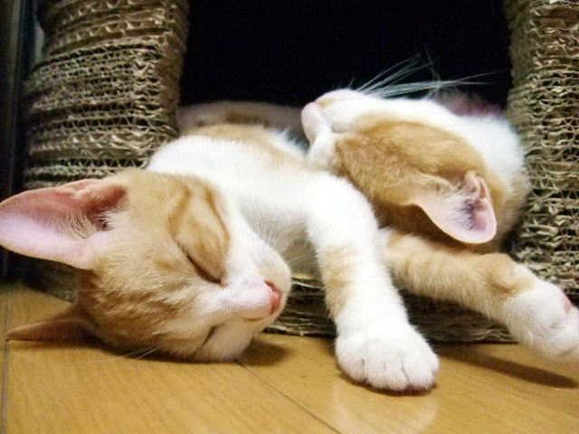 猫 膀胱炎 要因