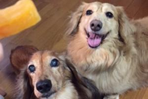 【犬のペットシッター】チョコ君、レオ君のご家族から
